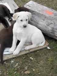 Chumey Allias Nanuk, chien Labrador Retriever