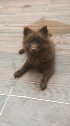 Chummy, chien Spitz japonais
