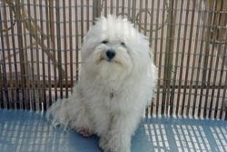 Chumy, chien Bichon havanais