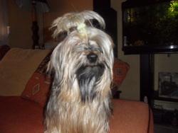 Chuncky, chien Yorkshire Terrier