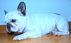 Chupa , chien Bouledogue français