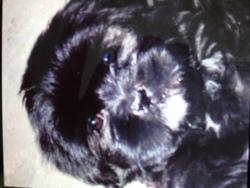 Chupa Chups, chien Lhassa Apso