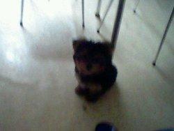 Chupas, chien Yorkshire Terrier
