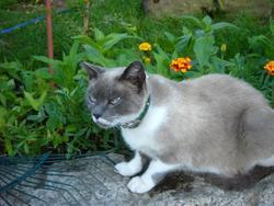 Chupette, chat Siamois