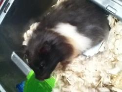 Chuppa, rongeur Hamster