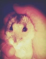 Chups, rongeur Hamster