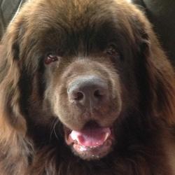 Churchill , chien Terre-Neuve