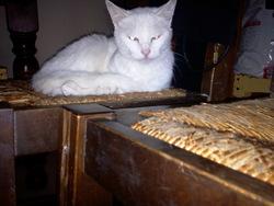 Chutaya, chat Européen