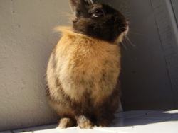 Chycago, rongeur Lapin