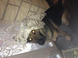 Chyla, chien Berger allemand