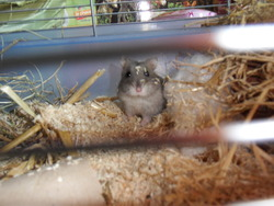 Chypsie, rongeur Hamster