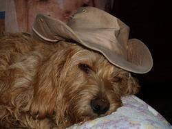 Chyra, chien Basset fauve de Bretagne