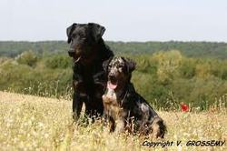 Ciboulette, chien Beauceron