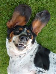 Ciboulette, chien Basset Hound