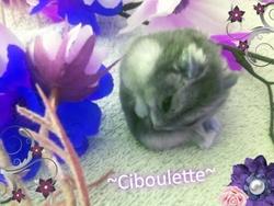 Ciboulette Au Paradis, rongeur Hamster
