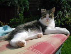 Ciboulette, chat Européen
