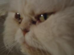 Ciboulette, chat Persan