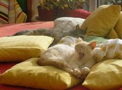 Ciboulette, chat