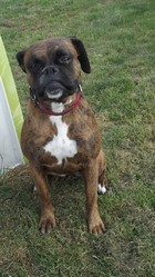 Cicy, chien Boxer