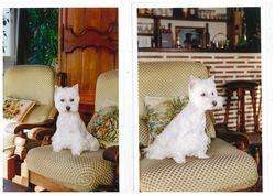 Cidjie, chien West Highland White Terrier