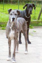 Cidjy, chien Dogue allemand