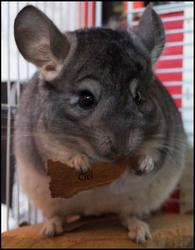 Ciel , rongeur Chinchilla