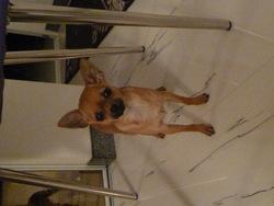 Cindy, chien Chihuahua
