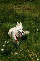 Circe, chien Berger blanc suisse