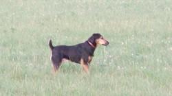 Circe, chien Jagdterrier