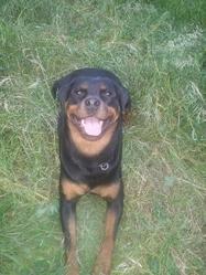 Cirka, chien Rottweiler