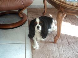 Cirka, chien Cavalier King Charles Spaniel