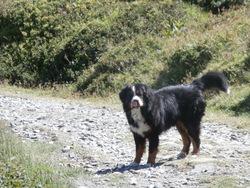Cirrus, chien Bouvier bernois