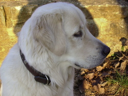 Cirrus, chien Golden Retriever