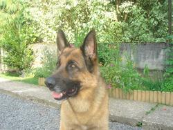 Cisco, chien Berger allemand