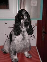 Cisco, chien Cocker anglais