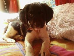Ciska, chien Épagneul breton