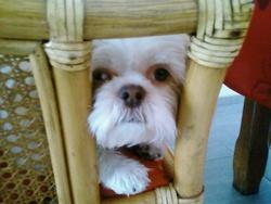 Ciska, chien Shih Tzu