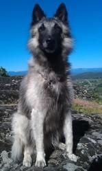 Cisko, chien Berger belge