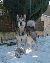Cisko, chien Malamute de l'Alaska