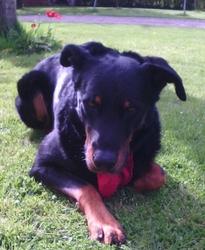 Cisko Du Parc De Montmacon, chien Beauceron