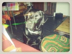 Cisse, chien Beauceron