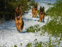 Cissi, chien Berger allemand