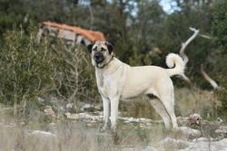 Ckwaryp Fd4s, chien Berger d'Anatolie
