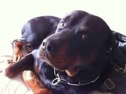 Ckyson, chien Rottweiler