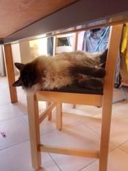 Cléo, chat Birman