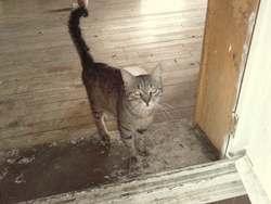 Clafouti, chat Européen