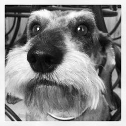 Clafoutie, chien Teckel