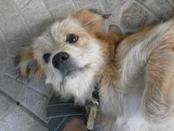 Clafoutis, chien Épagneul français