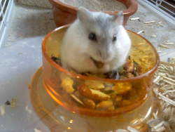 Clafouty, rongeur Hamster