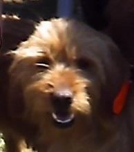 Clairon Du Domaine Des Mossellos, chien Basset fauve de Bretagne